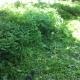 감나무 밭 풀깍기