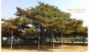 세금내는 소나무 예천 석송령