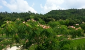 길가에핀 자귀나무