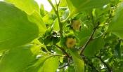 감나무 감꽃 구경하세요.