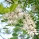 아카시아 꽃