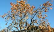 감나무 사진